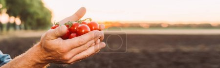 Photo for Cropped view of farmer holding ripe cherry tomatoes in cupped hands, website header - Royalty Free Image