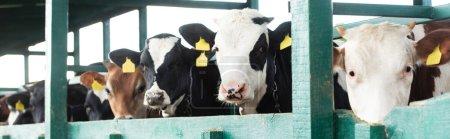 Photo pour Prise de vue panoramique de vaches tachetées avec des étiquettes jaunes dans une étable sur une ferme laitière - image libre de droit