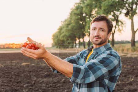 Photo for Farmer in plaid shirt looking at camera while holding ripe cherry tomatoes in cupped hands - Royalty Free Image