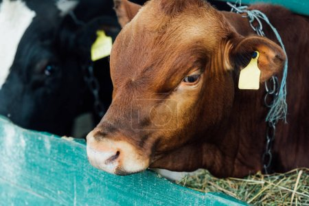selective focus of brown calf near manger with hay in cowshed