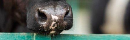 Photo pour Vue rapprochée du nez de vache tacheté noir et blanc près de la clôture, image horizontale - image libre de droit