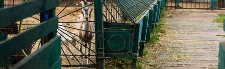 selective focus of goat with goatling in corral on farm, panoramic concept