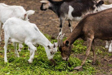 Photo pour Foyer sélectif de chèvre brune et de petit blanc mangeant de l'herbe à la ferme - image libre de droit