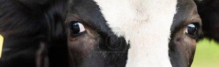 Photo pour Vue rapprochée de la tête de vache noire et blanche, orientation panoramique - image libre de droit