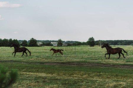 Photo pour Vue latérale des chevaux et poulain galopant sur les prairies - image libre de droit