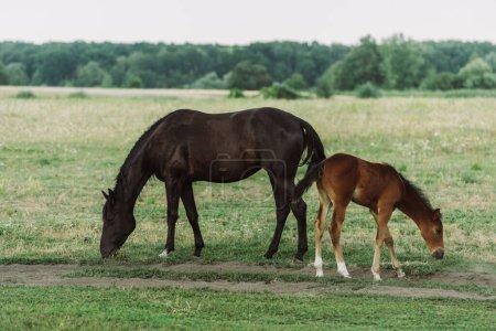 Photo pour Vue latérale du cheval brun avec poulain mangeant de l'herbe verte tout en pâturant sur le champ - image libre de droit