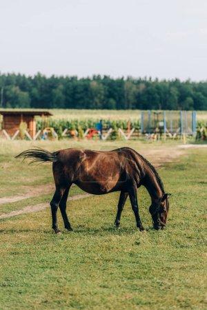 Photo pour Vue latérale du cheval brun mangeant de l'herbe verte pendant le pâturage sur le champ du ranch - image libre de droit