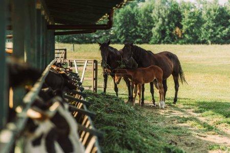 Photo pour Foyer sélectif des chevaux avec poulain près d'étable et de foin à la ferme - image libre de droit
