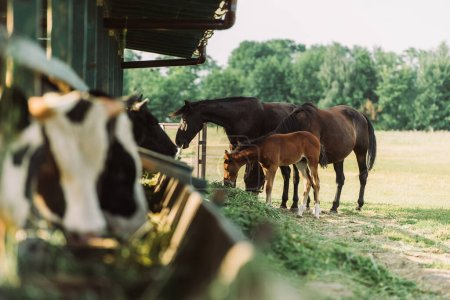 selective focus of brown horses with colt eating hay near cowshed on farm