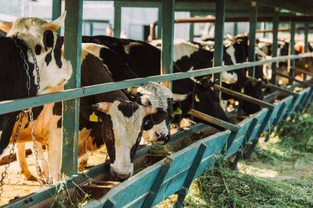 Photo pour Foyer sélectif des vaches noires et blanches près de la mangeoire avec du foin dans l'étable - image libre de droit