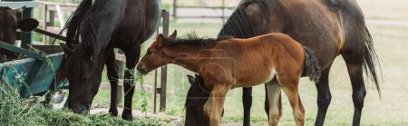 Photo pour Image horizontale de chevaux bruns avec poulain mangeant du foin à la ferme - image libre de droit