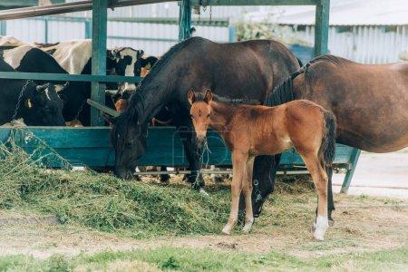 Photo pour Chevaux bruns avec poulain mangeant du foin à la ferme près d'étable - image libre de droit