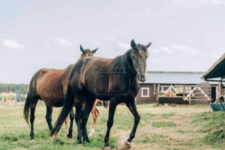 Photo pour Chevaux bruns pâturant sur ranch contre ciel nuageux - image libre de droit