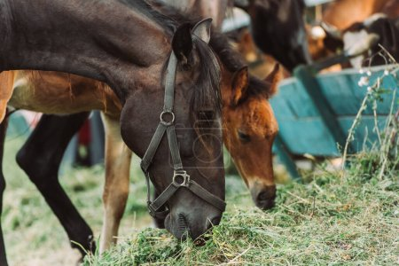 Photo pour Orientation sélective du cheval dans harnais et oursons mangeant du foin à la ferme - image libre de droit