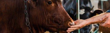 Photo pour Vue partielle d'un éleveur touchant une vache sur une ferme laitière, prise de vue panoramique - image libre de droit