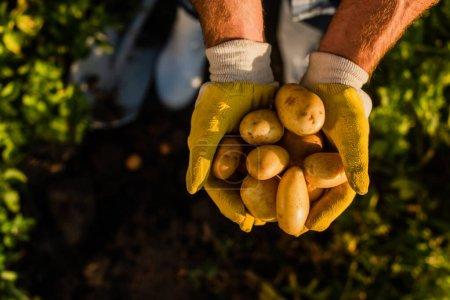 vue de dessus du rancher tenant des pommes de terre fraîches et biologiques dans des mains coupées, mise au point sélective