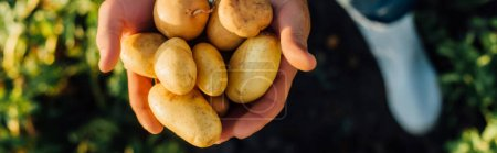 Photo for Partial view of rancher holding fresh, organic potatoes in cupped hands, horizontal concept - Royalty Free Image