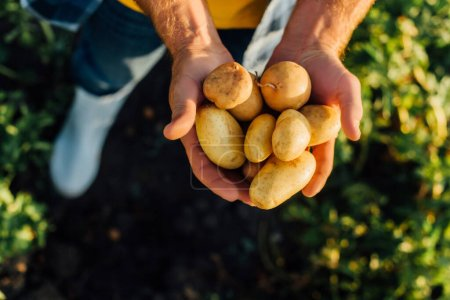 Photo for Cropped view of rancher holding fresh potatoes in cupped hands, selective focus - Royalty Free Image