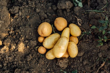 Photo for Top view of potato tubers on ground in field - Royalty Free Image