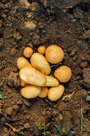 top view of fresh organic potatoes on ground in field