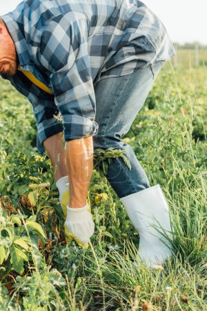 cropped view of farmer in gloves and rubber boots pulling out weeds in field