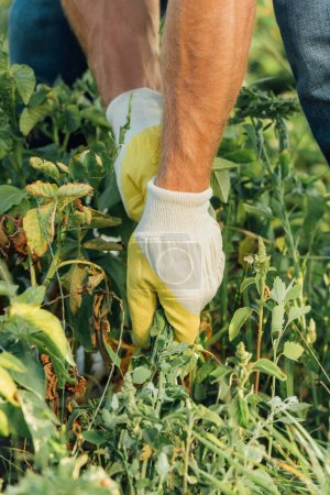 Photo for Partial view of farmer in gloves pulling out weeds while working in field - Royalty Free Image