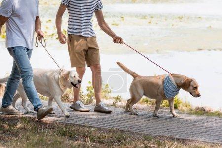 Photo pour Vue recadrée du père et de l'adolescent fils tenant des laisses tout en marchant avec des récupérateurs d'or près du lac - image libre de droit