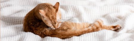Photo for Panoramic shot of ginger cat lying on blanket at home - Royalty Free Image