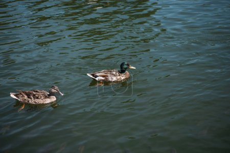 two wild ducks swimming on river
