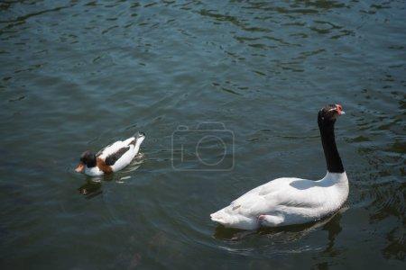 Photo pour Le canard sauvage et cygne nageant sur une rivière - image libre de droit