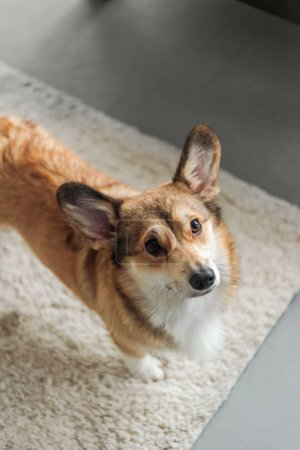 cute corgi puppy standing on carpet and looking up