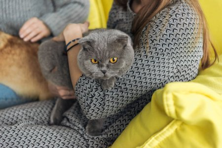 cropped shot of woman carrying scottish fold cat while sitting on couch