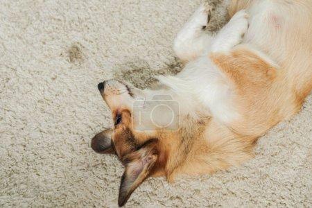 high angle view of adorable corgi dog lying on carpet