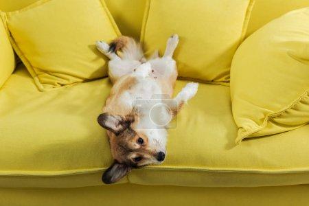 adorable corgi dog lying on back on yellow sofa