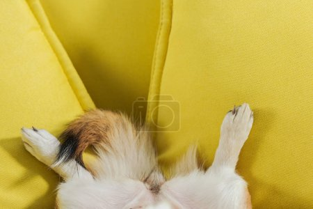 cropped shot of corgi dog lying on yellow couch