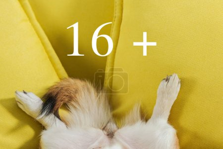 cropped shot of corgi dog lying on yellow couch with 16+ sign, adult content concept