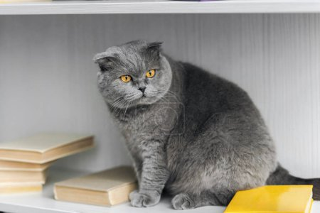 adorable scottish fold cat sitting on bookshelf and looking away