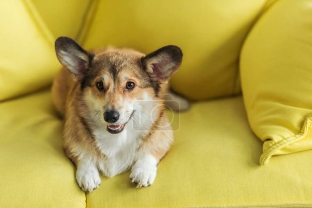 cute corgi dog lying on yellow couch at home