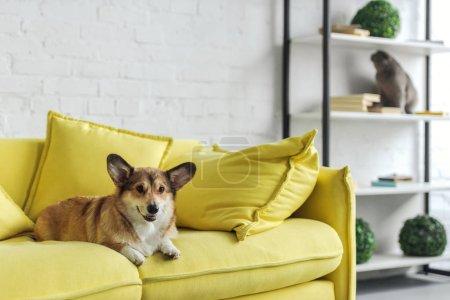 adorable corgi dog lying on yellow couch at home