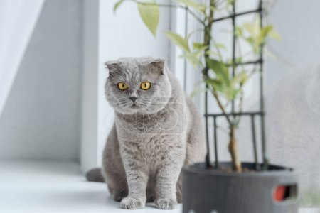 scottish fold cat sitting on windowsill at home and looking at camera