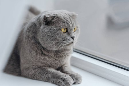 close-up shot of unhappy scottish fold cat relaxing on windowsill and looking through window