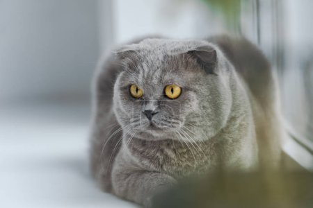 close-up shot of scottish fold cat relaxing on windowsill and looking away