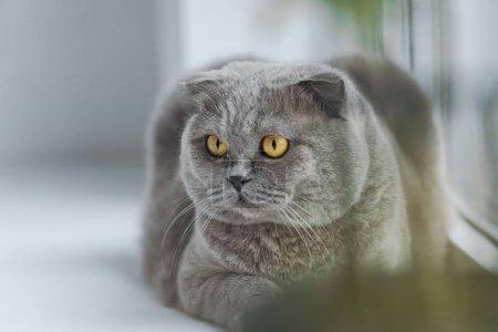 Photo pour Gros plan du chat écossais pliant se relaxant sur le rebord de la fenêtre et regardant ailleurs - image libre de droit
