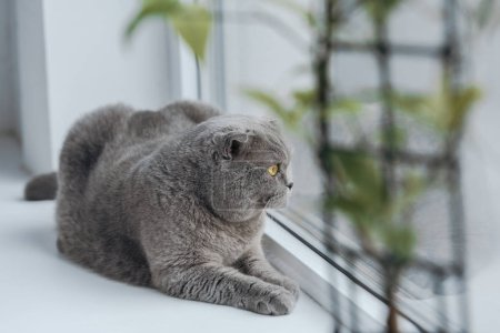 close-up shot of cute scottish straight cat lying on windowsill at home and looking through window