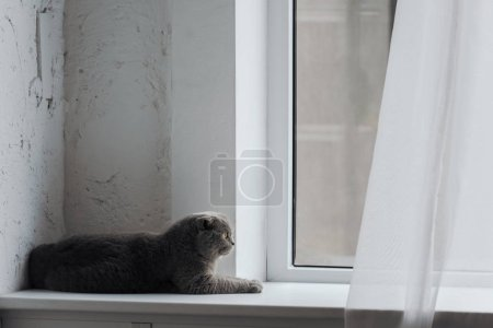 adorable scottish fold cat lying on windowsill at home