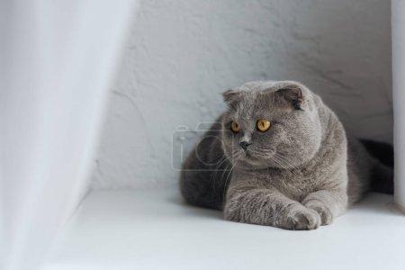 Photo pour Adorable chat écossais pliant couché sur blanc et regardant loin - image libre de droit