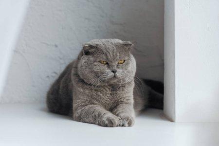 Photo pour Chat adorable écossais pli couché sur blanc - image libre de droit