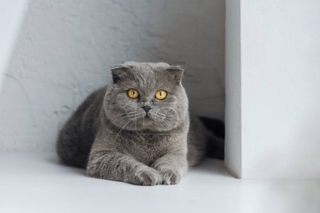 adorable scottish fold cat looking at camera