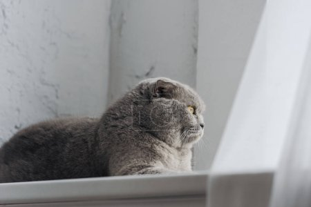 adorable scottish fold cat lying on windowsill and looking through window