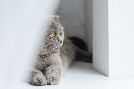 close-up shot of adorable scottish fold cat lying on windowsill behind curtain and looking through window